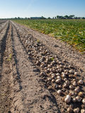 Rows of harvested tulip bulbs on soil Royalty Free Stock Photo