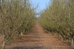 Rows of Hazelnut Trees in Orchard, Rolling Ground, Rich Soil, Dark Trunks, Green Grass, Vivid Blue Sky. Horizontal View of Rows of Hazelnut Trees in Orchard stock photography