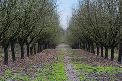 Rows of Hazelnut Trees in Orchard, Rolling Ground, Rich Soil, Dark Trunks, Green Grass, Vivid Blue Sky. Selective Focus to Soft Focus Blur, Early Spring stock image