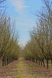 Rows of Hazelnut Trees in Orchard, Rolling Ground, Rich Soil, Dark Trunks, Green Grass, Vivid Blue Sky. Selective Focus to Soft Focus Blur, Early Spring stock photography