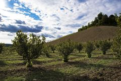 Rows of hazels on the Langa hills in Piedmont. In front of a blue sky full of clouds royalty free stock images