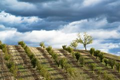 Rows of hazels on the Langa hills in Piedmont. In front of a dark blue stormy sky full of clouds stock photo