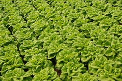 Rows of head lettuce in a glasshouse. Green head lettuces in diagonal rows in a greenhouse in the Westland in the Netherlands Stock Photo