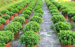 Rows of healthy potted plants at the local nursery Stock Photo