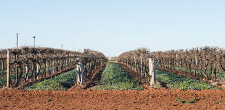 Rows of Hedged Chardonnay Vines, Mildura, Australia. Rows of hedged Chardonnah vines with a disked up hedland in the foreground. The pruning of these vines has Stock Photos