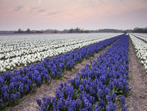 Rows of hyacinths in bulb field Royalty Free Stock Images