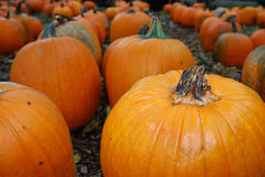 Rows of large orange pumpkins. On leaves.  Used for decorations and pies in the fall and autumn Stock Images