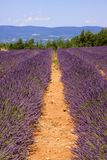 Rows of Lavender Royalty Free Stock Images