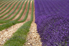 Rows of lavender blossoms and collected Royalty Free Stock Photo