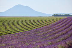 Rows of lavender blossoms and trimmed in the mountains Royalty Free Stock Photography