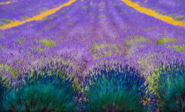 Rows of Lavender disappear to infinity Stock Photography