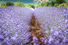 Rows in lavender field, Provence, France Royalty Free Stock Photos