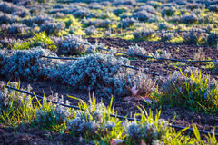 Rows of lavender Stock Photography