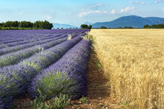 Rows of lavender and  fields of grain. Royalty Free Stock Image
