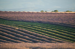 Rows Of Lavender Flowers Royalty Free Stock Image