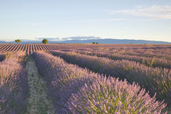 Rows Of Lavender Flowers Royalty Free Stock Photography