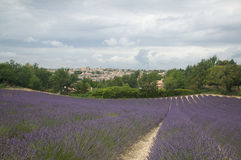 Rows Of Lavender Flowers In Bloom Stock Photography
