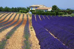 Rows of Lavender flowers, field on plateau of Valensole. Stock Image