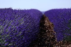 Rows of lavender in France, beautiful landscape Royalty Free Stock Photos