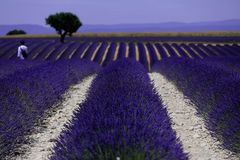Rows of lavender in France, beautiful landscape Stock Image