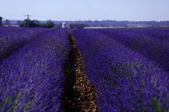 Rows of lavender in France, beautiful landscape Royalty Free Stock Photography