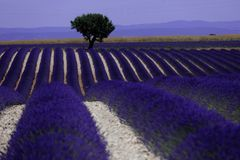 Rows of lavender in France, beautiful landscape Stock Photography