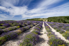 Rows of lavender leading to a distant path Stock Photos