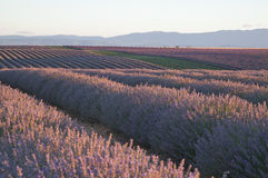 Rows of Lavender Plants Stock Image