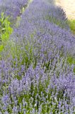 Close-up of a row of lavender plants. Rows of lavender plants on Namarata Bench British Columbia stock images