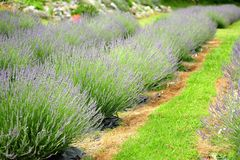 Rows of Lavender in flower. Rows of lavender plants well spaced and with purple  flowers and with grass (pathways) separating the rows Stock Photos