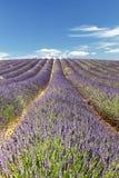 Rows lavender in portrait mode Stock Photo