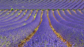 Rows of lavender, Provence Royalty Free Stock Images