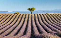 Rows of lavender and single tree on horizon Stock Photography