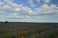Rows Of Lavender With A Sky With Precious Clouds At Sunset In A Brihuega Meadow. Nature, Plants, Odors, Landscapes. September 8, 2018. Brihuega, Guadalajara stock photos