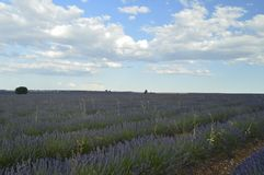Rows Of Lavender With A Sky With Precious Clouds At Sunset In A Brihuega Meadow. Nature, Plants, Odors, Landscapes. September 8, 2018. Brihuega, Guadalajara royalty free stock images
