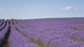 Rows of lavender Stock Images