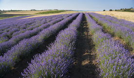 Rows of lavender Royalty Free Stock Image