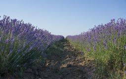 Rows of lavender Stock Photos