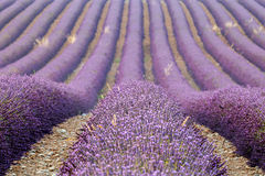 Rows of lavenders, Provence, France Royalty Free Stock Image