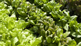 Rows of lettuce Royalty Free Stock Photography