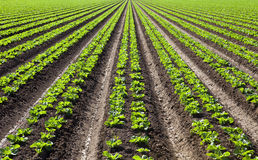 Rows of Lettuce. Bright green rows of lettuce Stock Photo