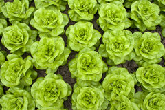 Rows of lettuce stock images