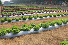 Rows of lettuce. Rows of fresh lettuce for salad in the garden of Thailand Royalty Free Stock Images