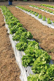 Rows of lettuce. Lettuce has been cultivated for agriculture and exports Stock Photos