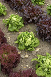 Rows of lettuce. Diagional stock image
