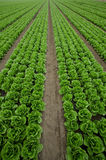 Rows of Lettuce. Farm land full with rows of lettuce Royalty Free Stock Photos