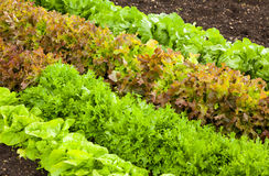 Rows of Lettuce. Rows of different lettuce varieties growing o an allotment Royalty Free Stock Photo
