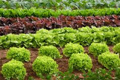 Rows of lettuce on a field. Rows of fresh lettuce plants in the countryside on a sunny day Royalty Free Stock Images