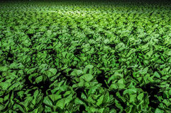 Rows of lettuce in a field at night Stock Image