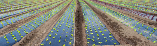 Rows of lettuce in garden Royalty Free Stock Image